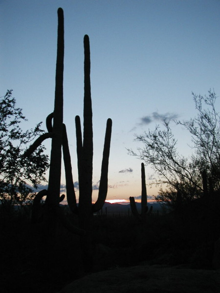 Saguaro cactus, BLM land, Quartzsite, AZ