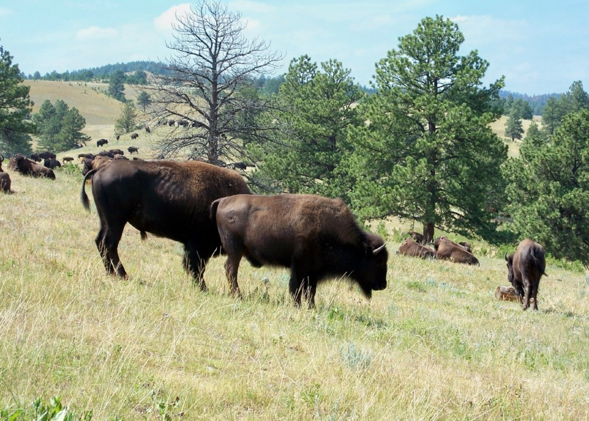 Buffalo at Custer State Park, South Dakota