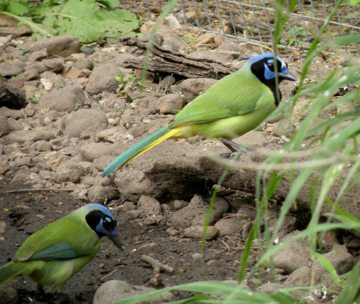 Green Jay at  Laguna Atascosa National Wildlife Refuge.