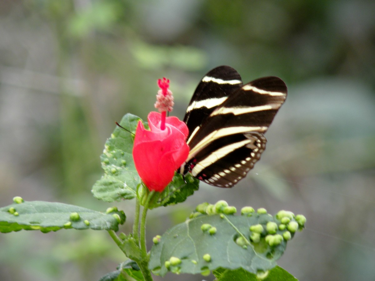 Zebra butterfly at the Santa Ana Wildlife Refuge.