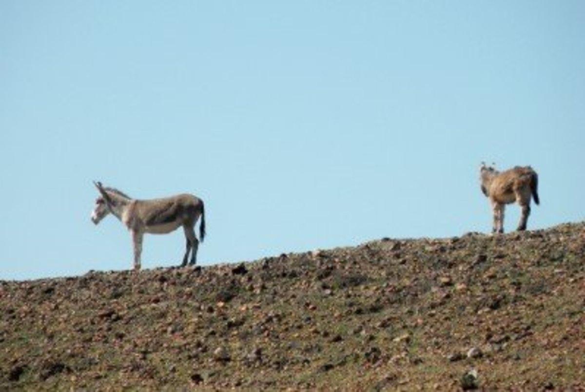 Wild Burros visit the Hurricane Ridge camping area at  Imperial Dam Long Term Visitor Area near Yuma, Arizona.