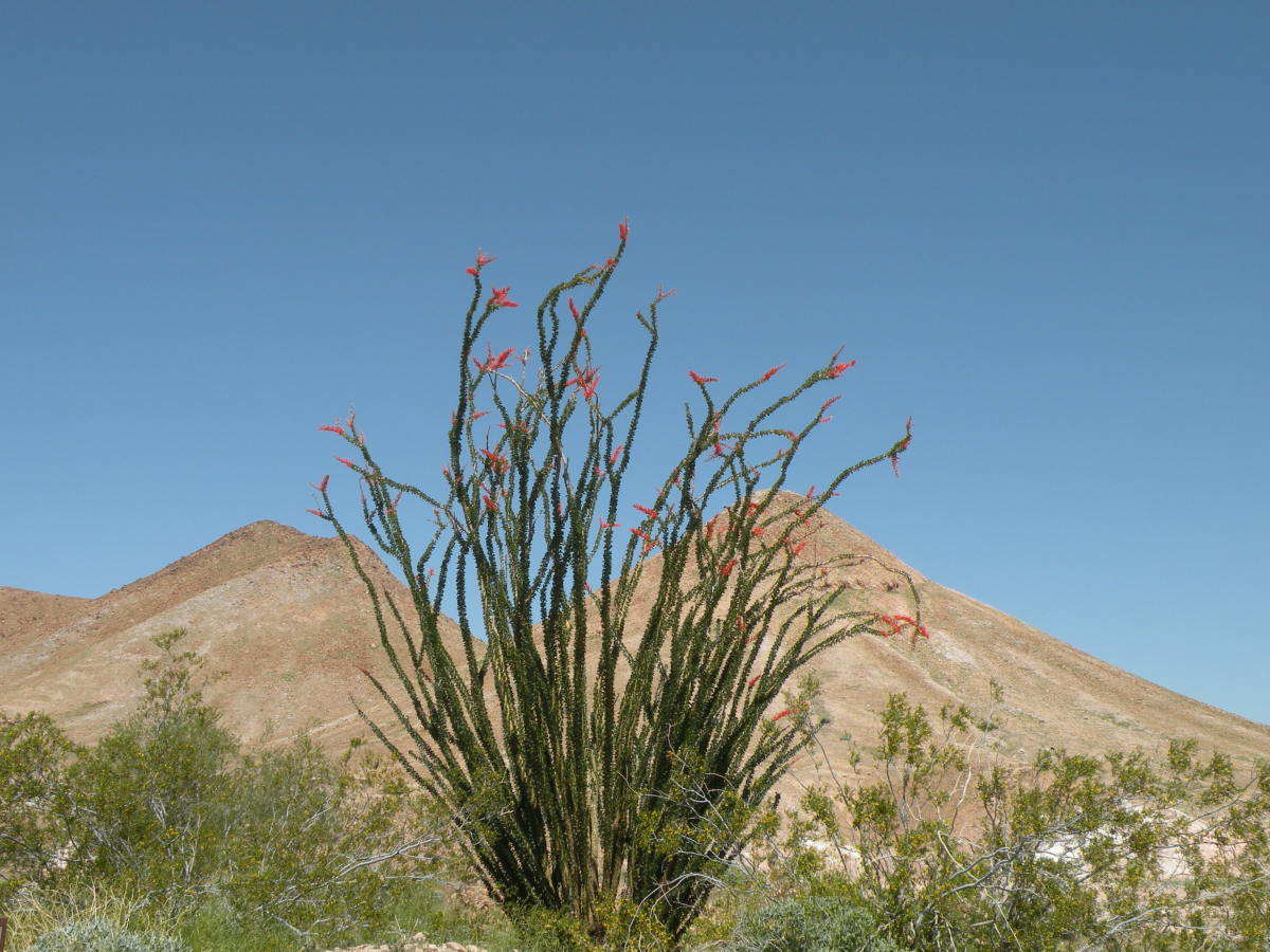 Ocotillo cactus blooming near Senator Wash.  Imperial Dam Long Term Visitor Area near Yuma, Arizona.