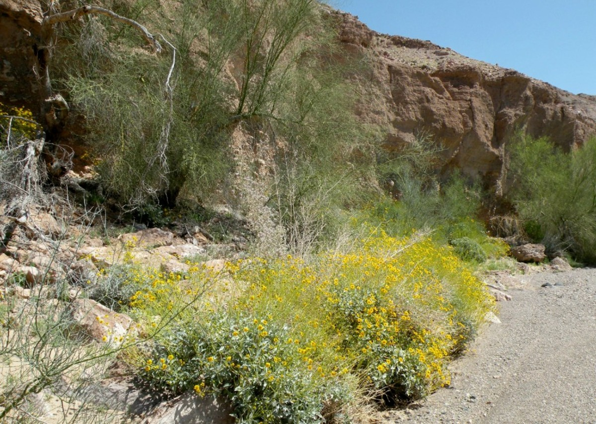 Brittlebush blooming near Senator Wash.  Imperial Dam Long Term Visitor Area near Yuma, Arizona.