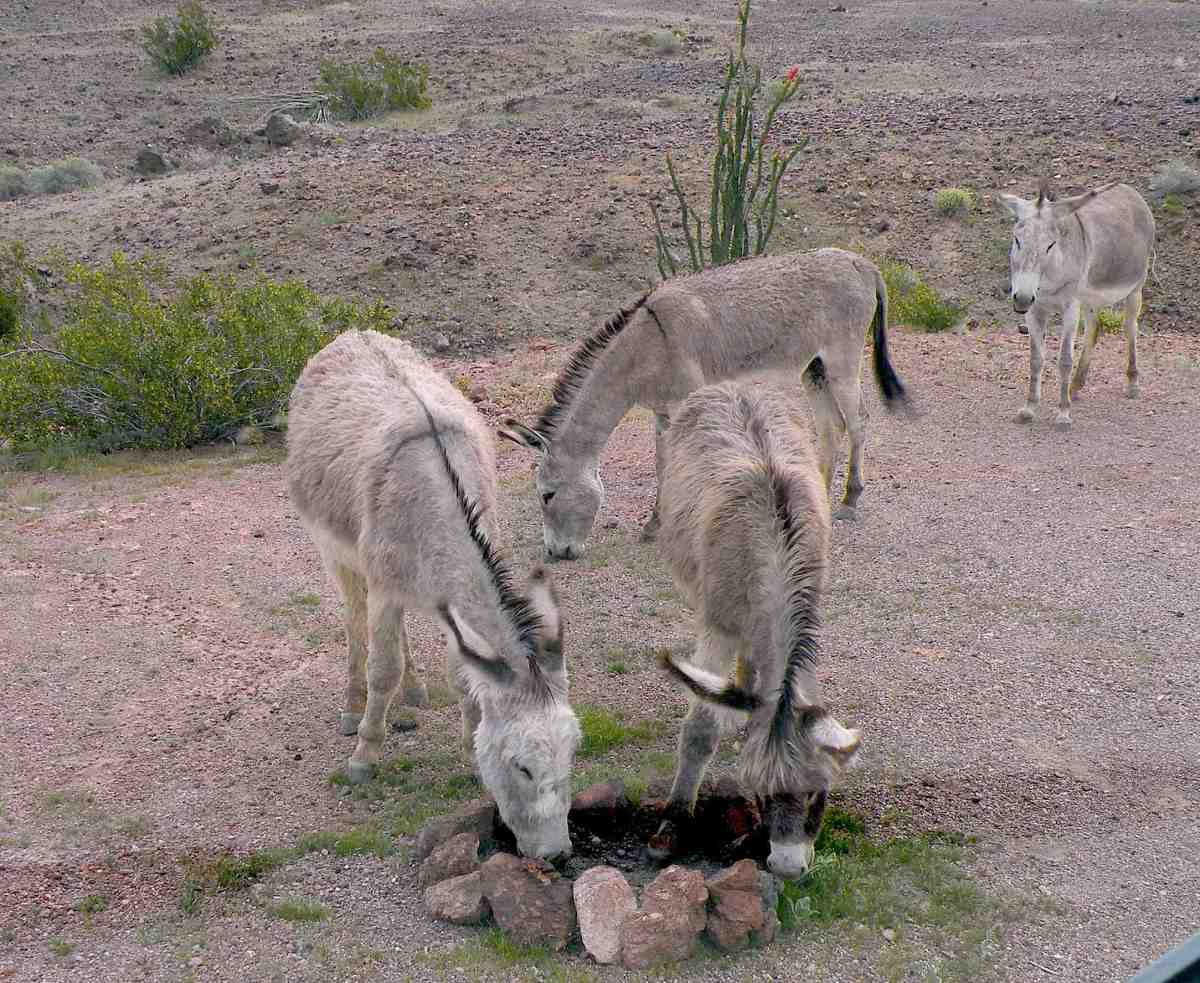 Wild burros are curious creatures. Here, near Senator Wash, they nibble at grass growing near a fire ring.