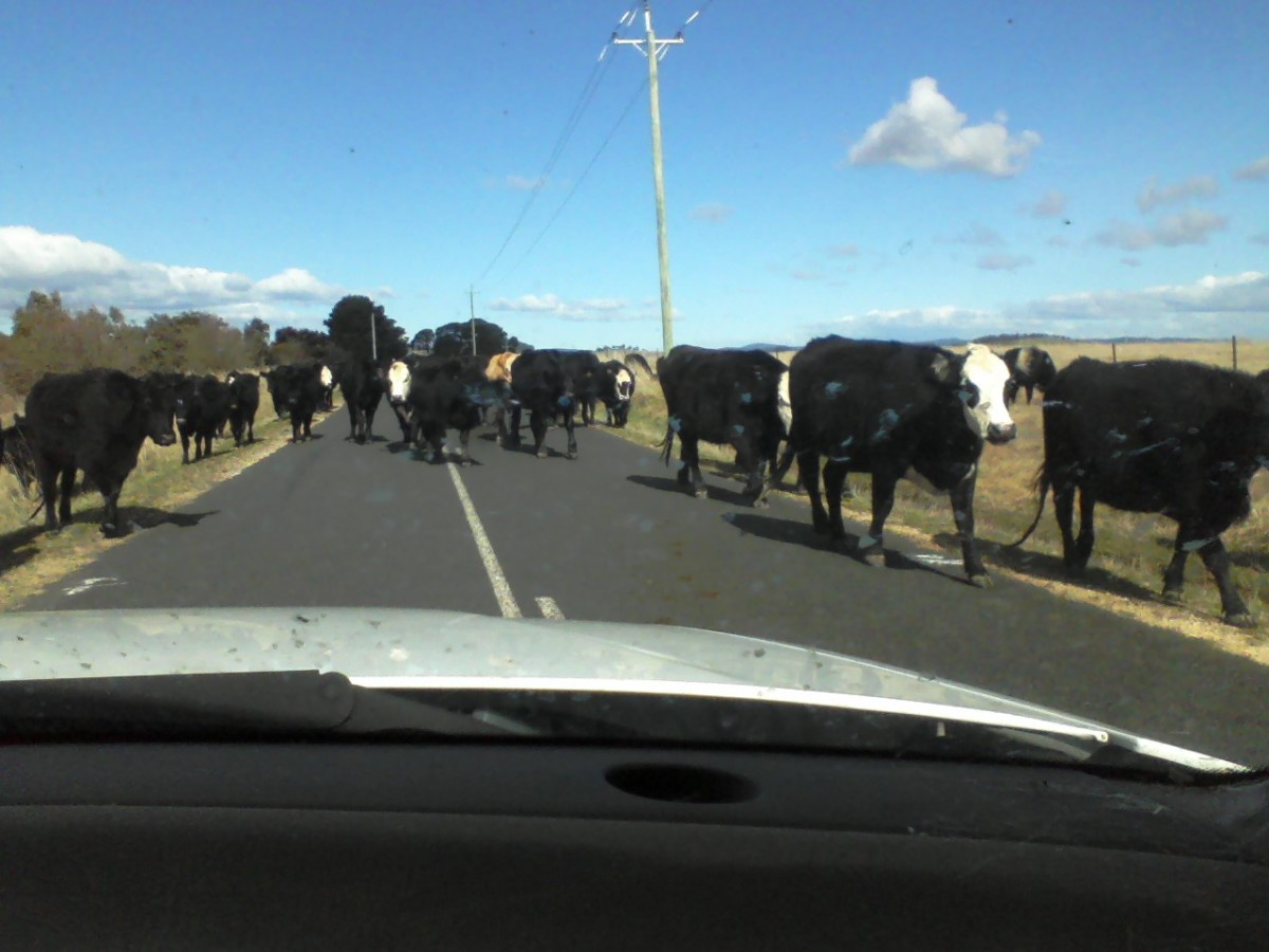 Negotiating my way past cattle with their tails raised is trouble enough in my 4WD. These roads would be catastrophic in a nice, clean Ferrari.