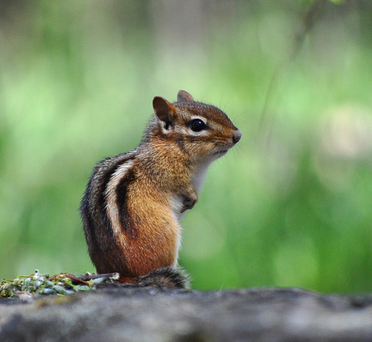 Chipmunks are adorable, until they eat their way through your wiring.