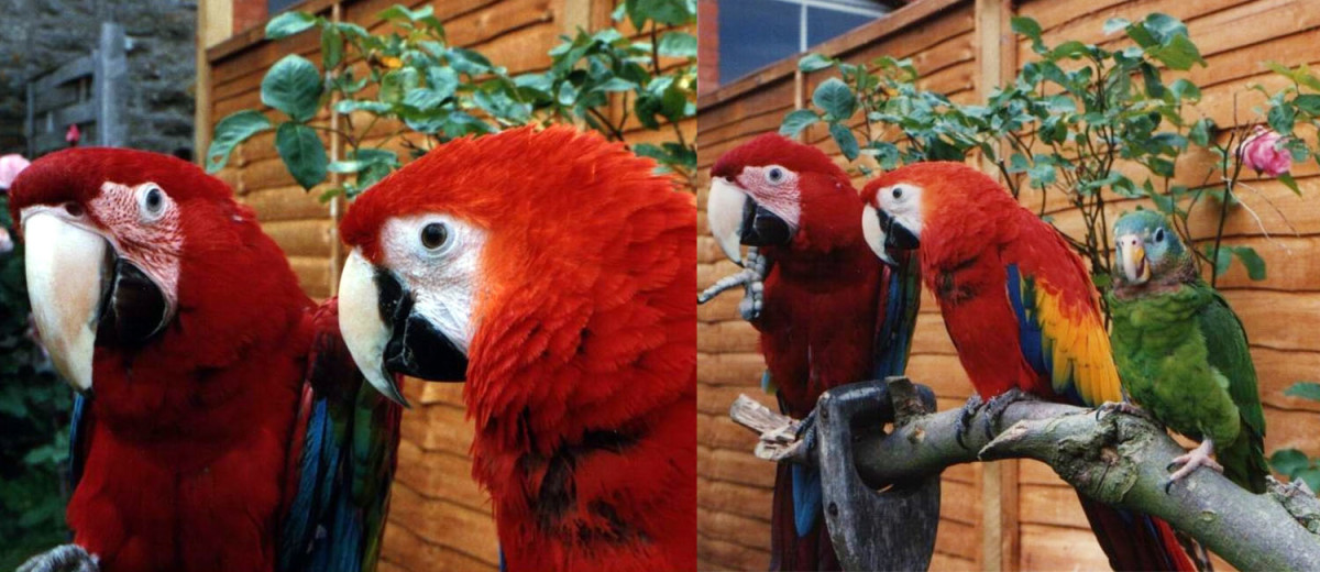 Green wing, scarlet macaw