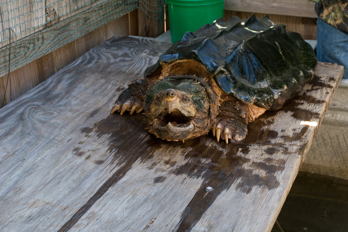 The alligator snapping turtle.
