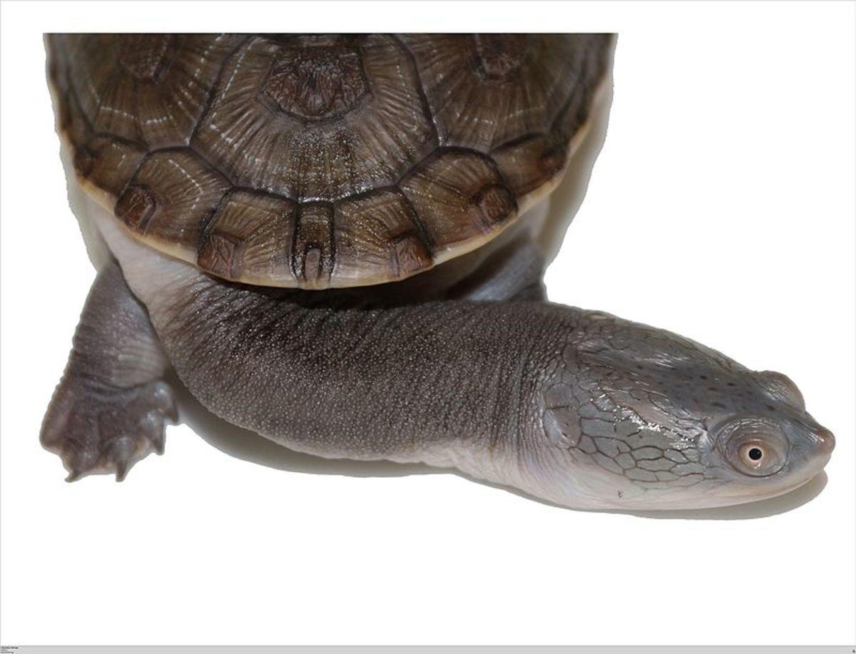 A snake-head turtle.
