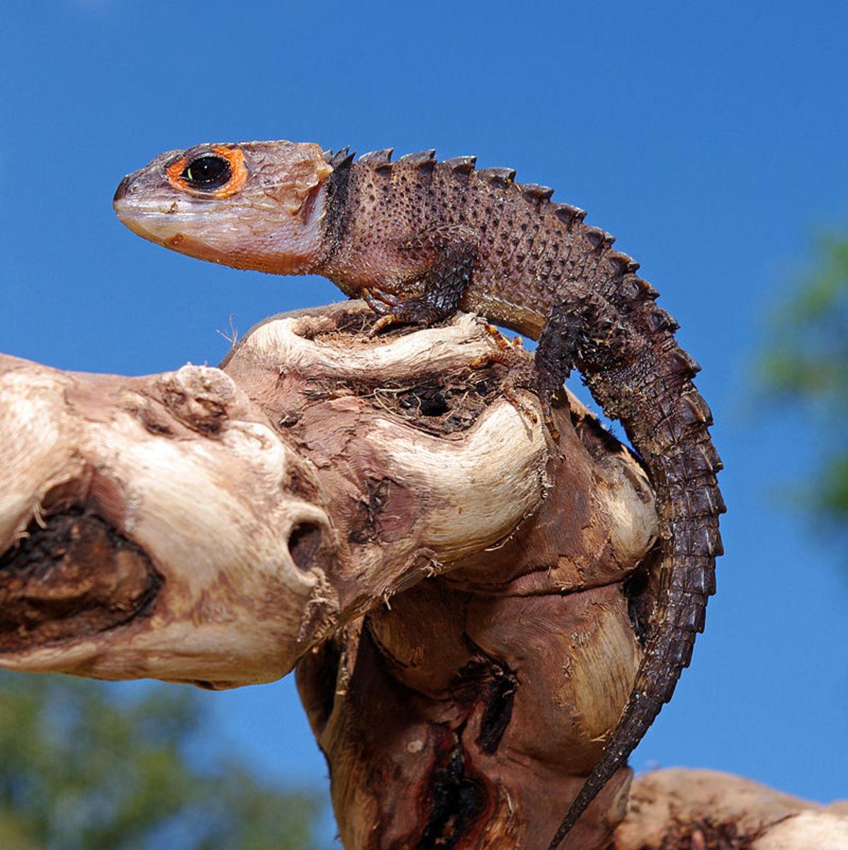 A crocodile skink.