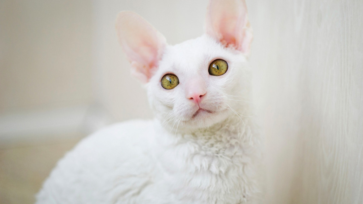 A gorgeous cream color Cornish Rex