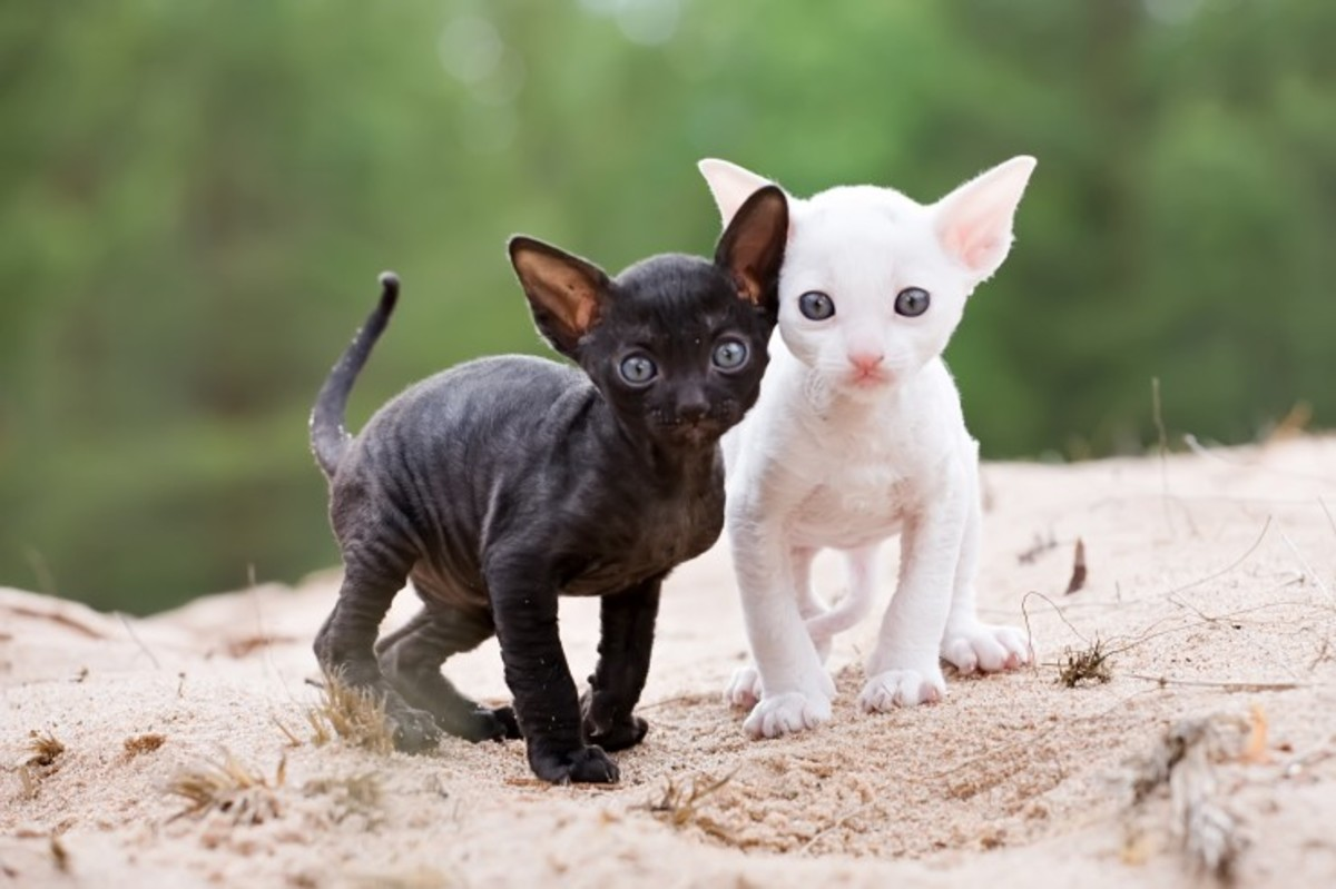 Two Cornish Rex kittens ready for names!