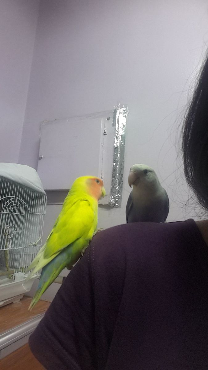 My lovebirds, Mumu and Lulu, love sitting on my shoulder and try to grab my attention.