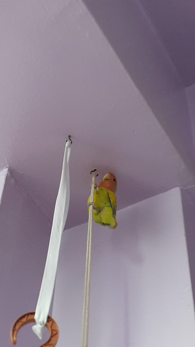 My lovebird, Mumu, is being naughty.