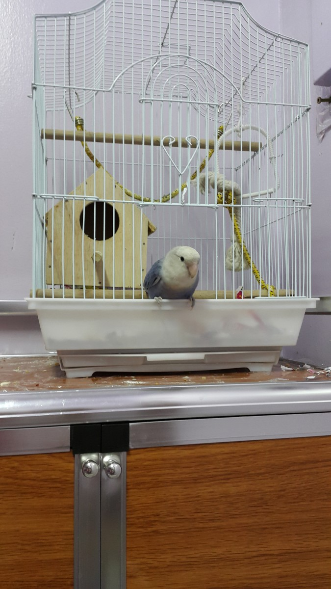Lovebird Lulu waiting to jump out of her cage.