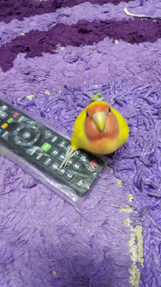 My lovebird, Mumu, loves to try what I do. Here, he is trying to hold the TV remote.