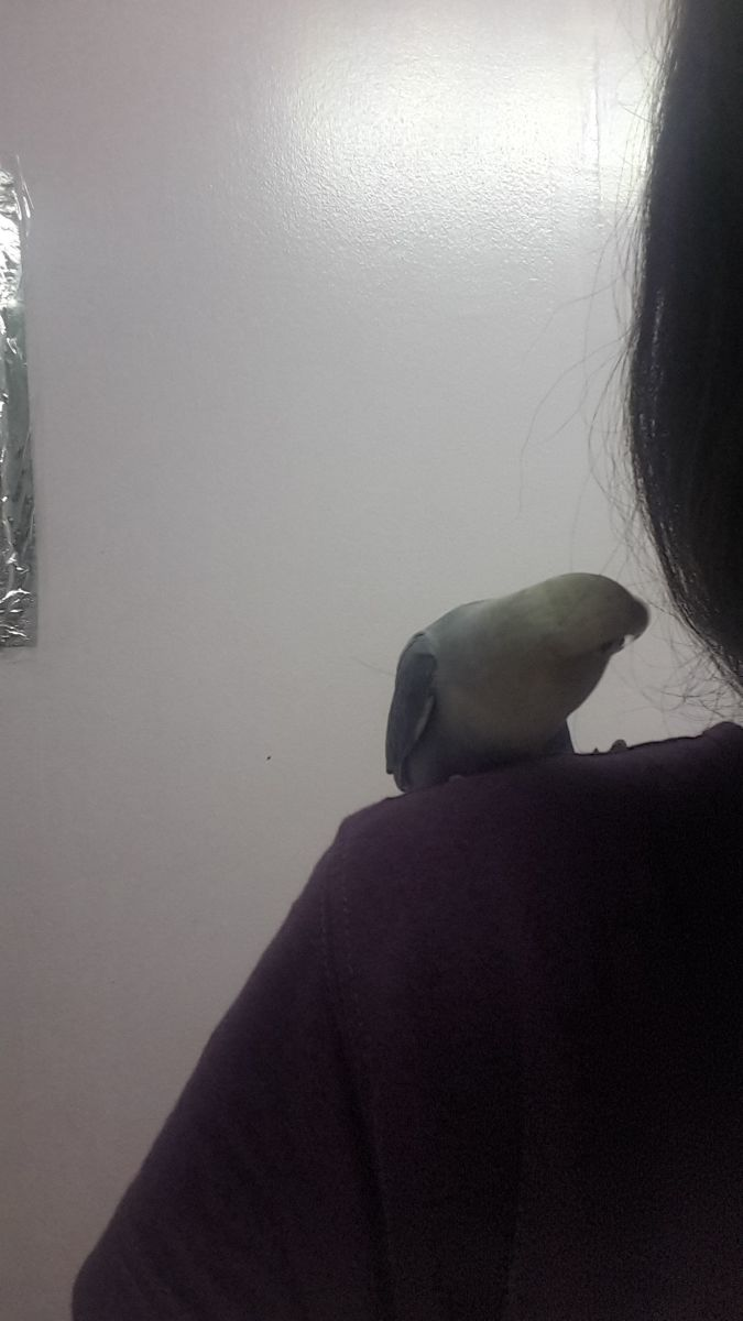 My lovebird, Lulu, loves to grab my attention by sitting on my shoulder. She tries to preen/clean my cheek.