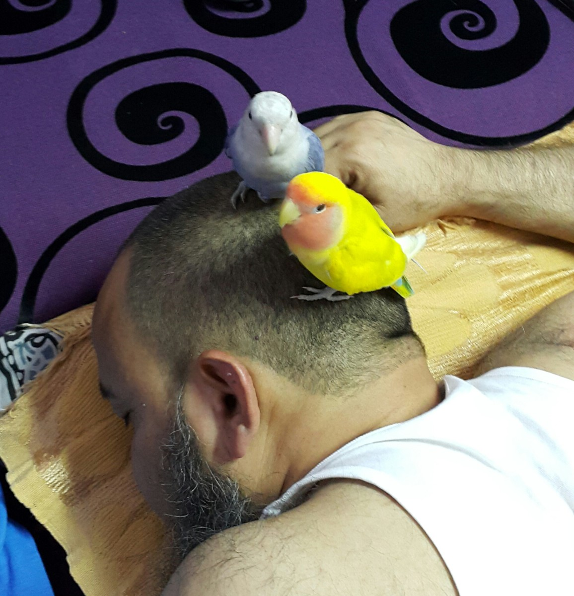 This picture was taken when my lovebirds, Mumu and Lulu, sat on my sleeping dad's head. They wanted him to wake up and play with them.