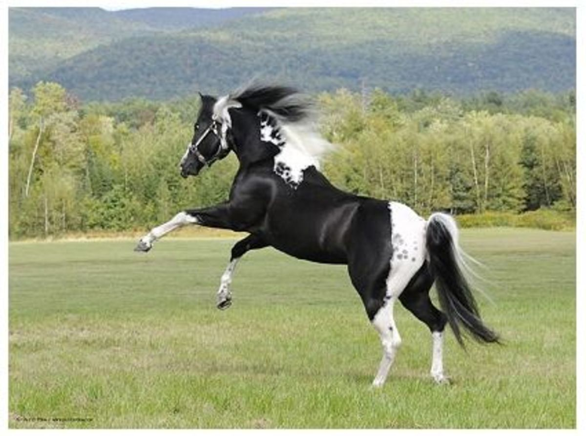 This powerful Appaloosa could make a good Caddaja.