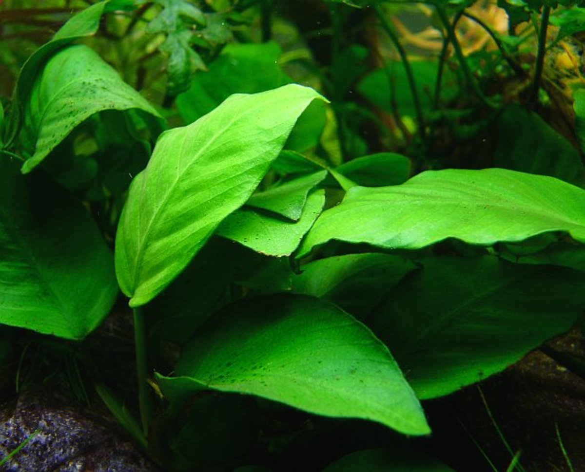 Anubias can be attached to a rock or décor in the aquarium. This makes it impossible for goldfish to uproot.