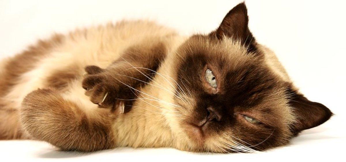 British Shorthair cat lazing around the house.