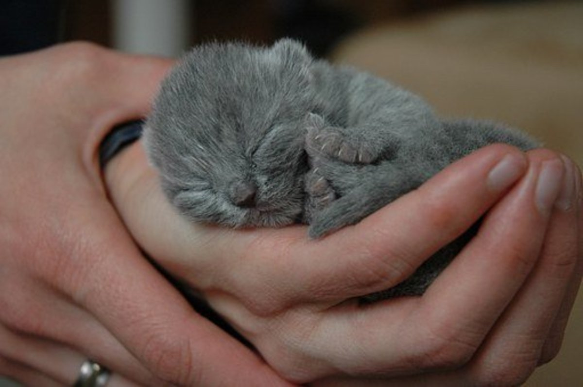 "This British Shorthair kitten looks snug as a bug in a rug curled up in her human ""mom's"" hands."