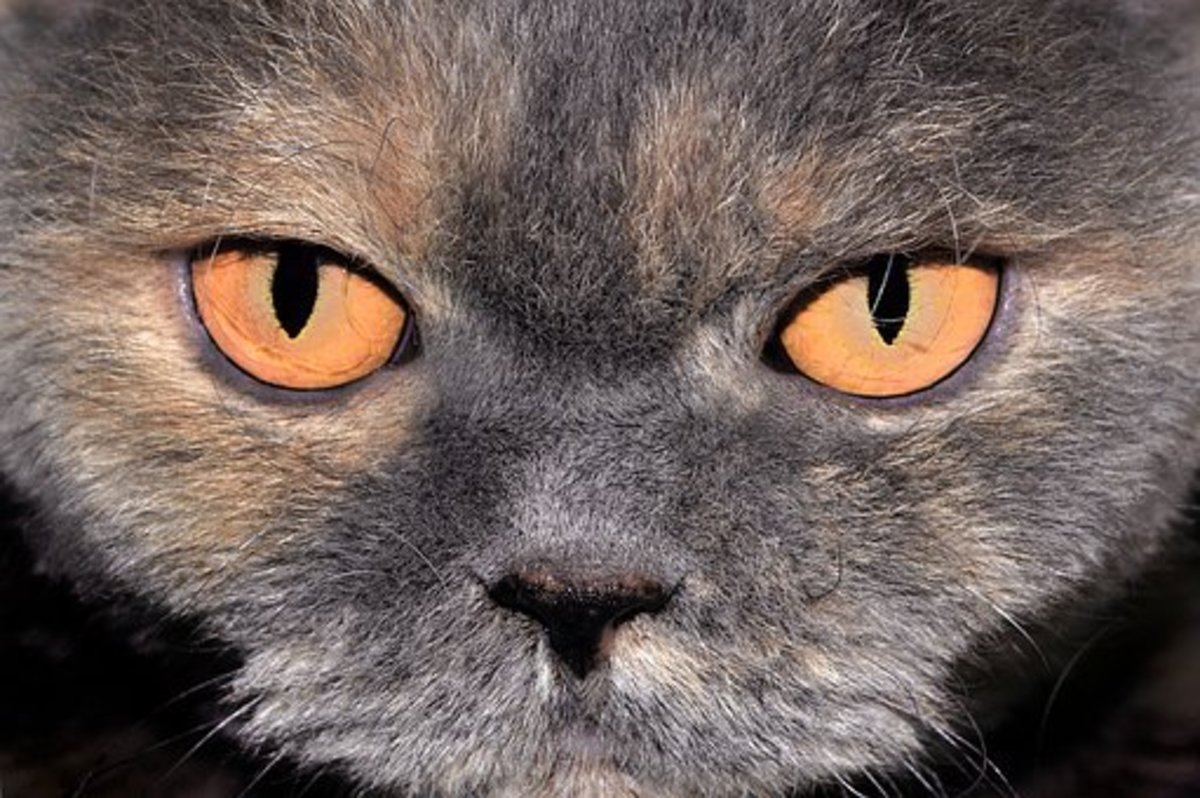 Notice this British Shorthair Cat's glowing orange eyes.