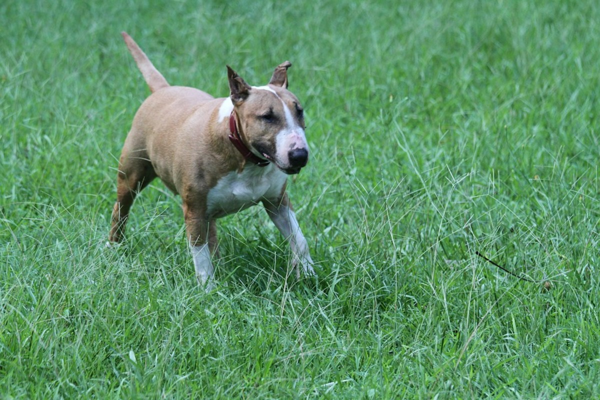 During trancing, a Bull Terrier moves forward in slow motion.