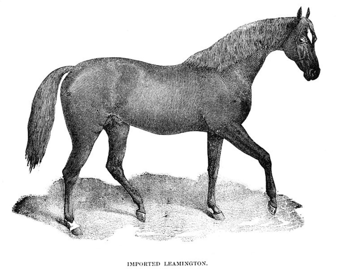 Leamington, a Thoroughbred stallion imported into the United States. Foaled in 1853.