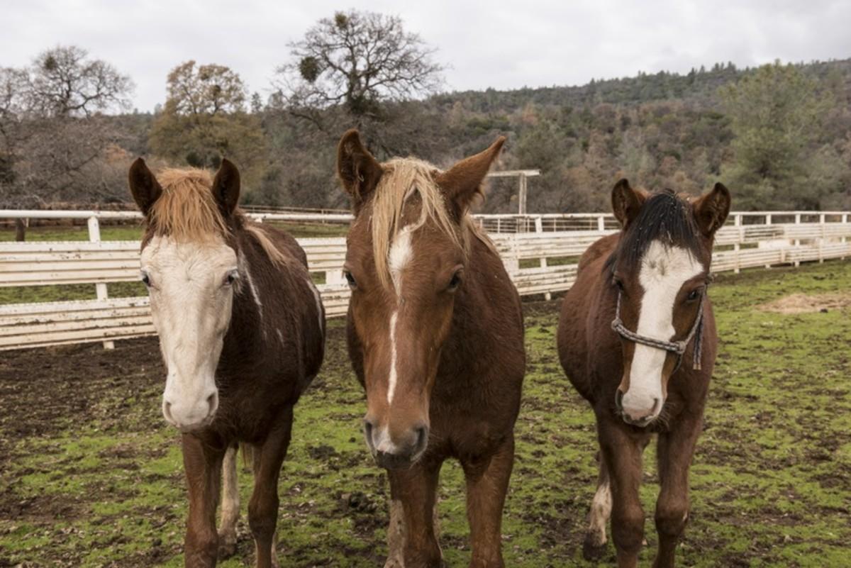 rehabilitation-of-the-starvedneglectedabused-horse