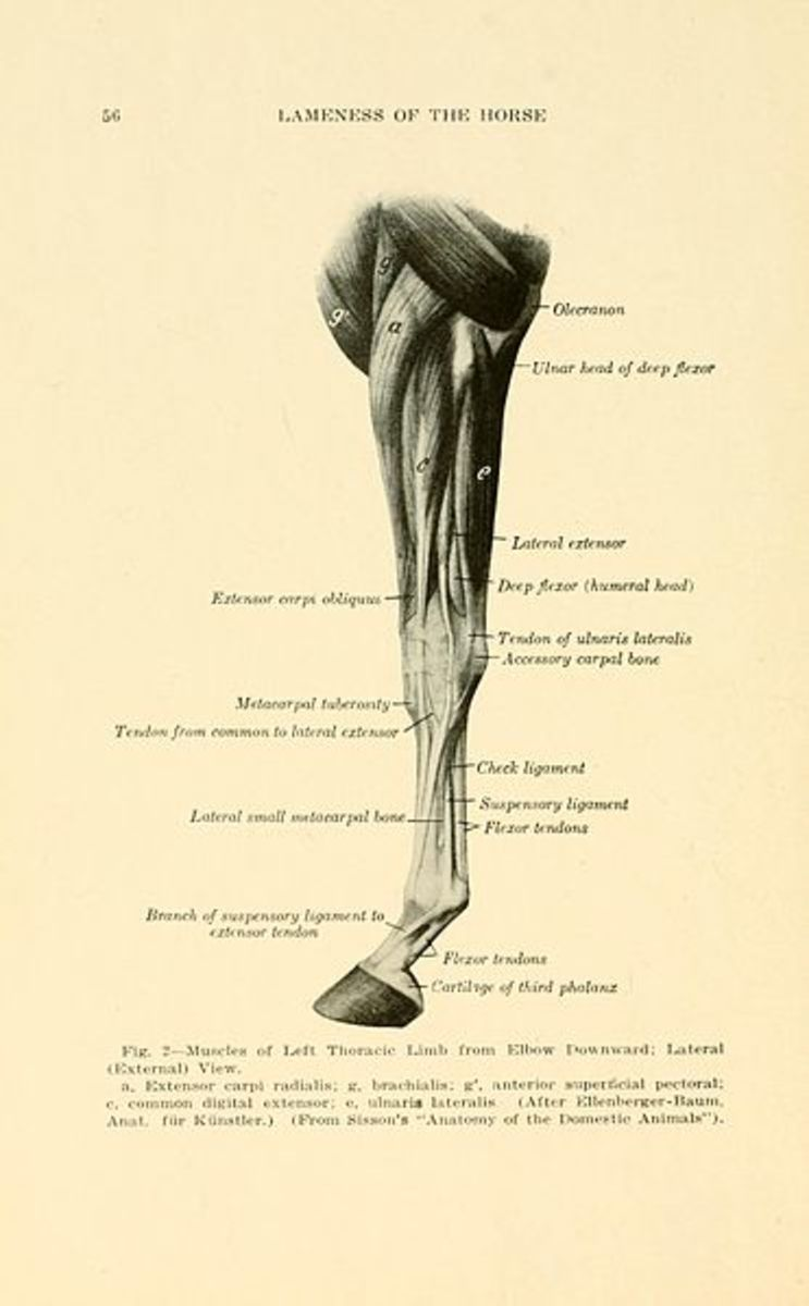 Front limb tendon anatomy.