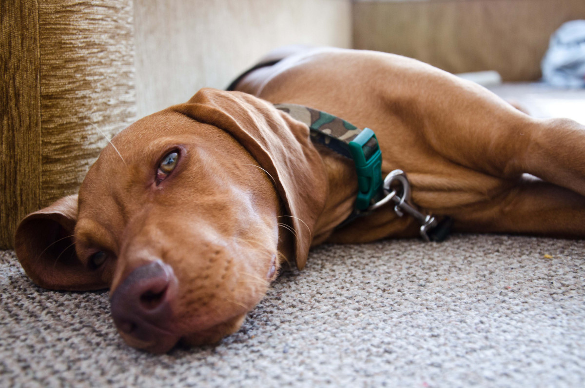 The Vizsla is an active dog but prefers being at home.