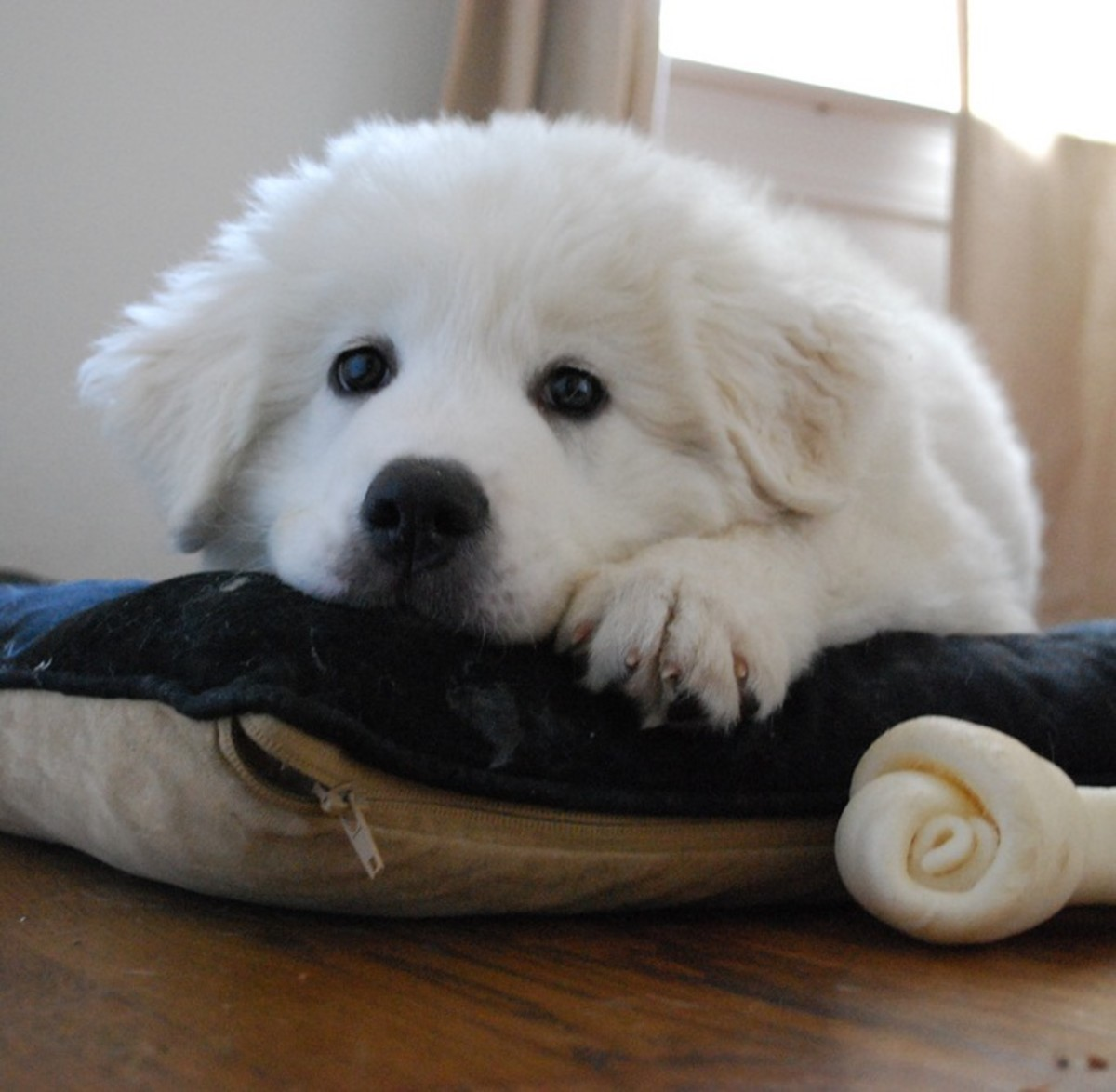 Livestock guard dogs like this Great Pyrenees were bred to be calm around prey.