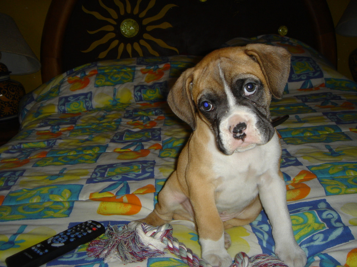 The Boxer is one of the few guard dogs with a low prey drive.