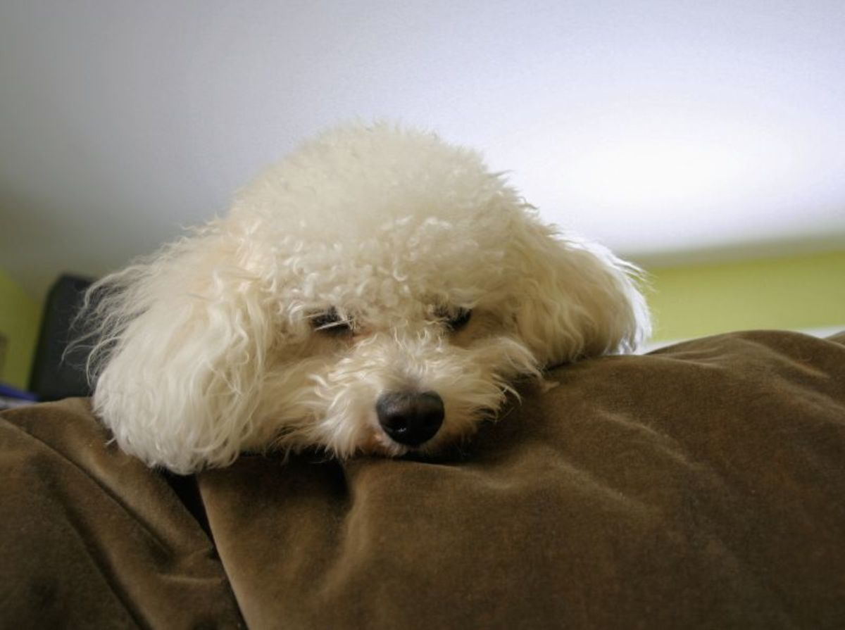 Bichon usually prefer to remain calm.