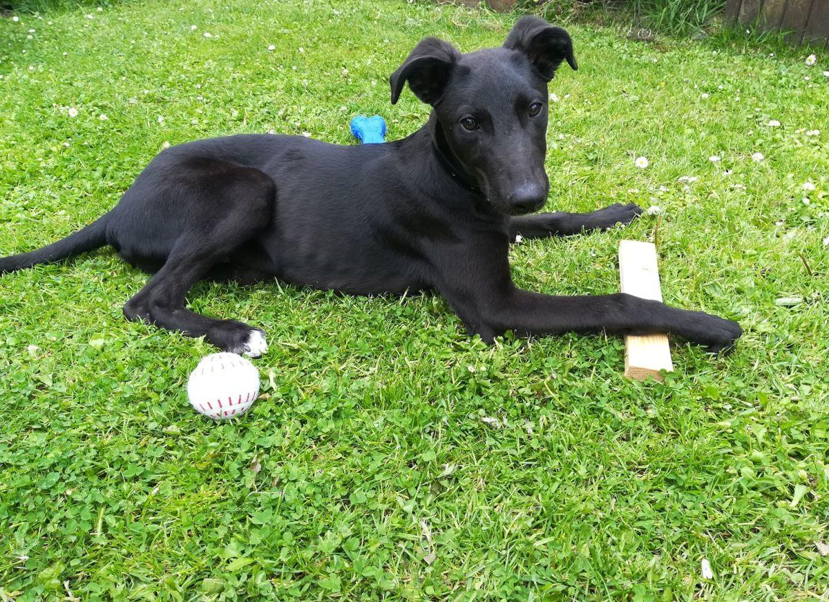 Our rescue greyhound puppy