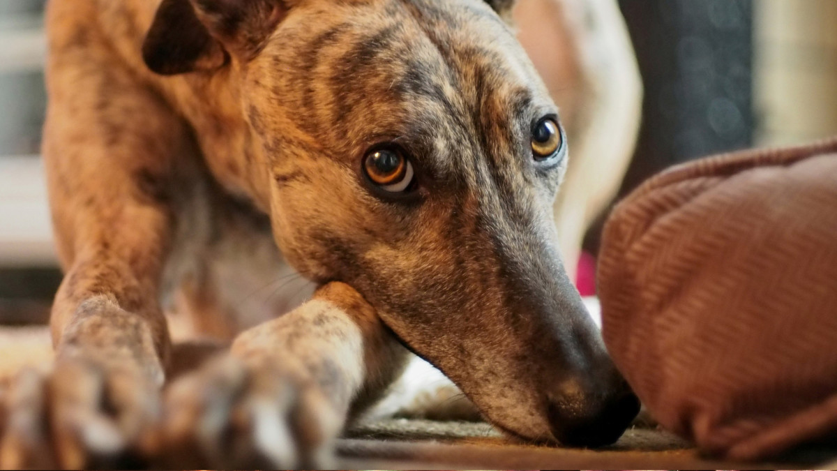 Adopting Retired Racing Greyhounds