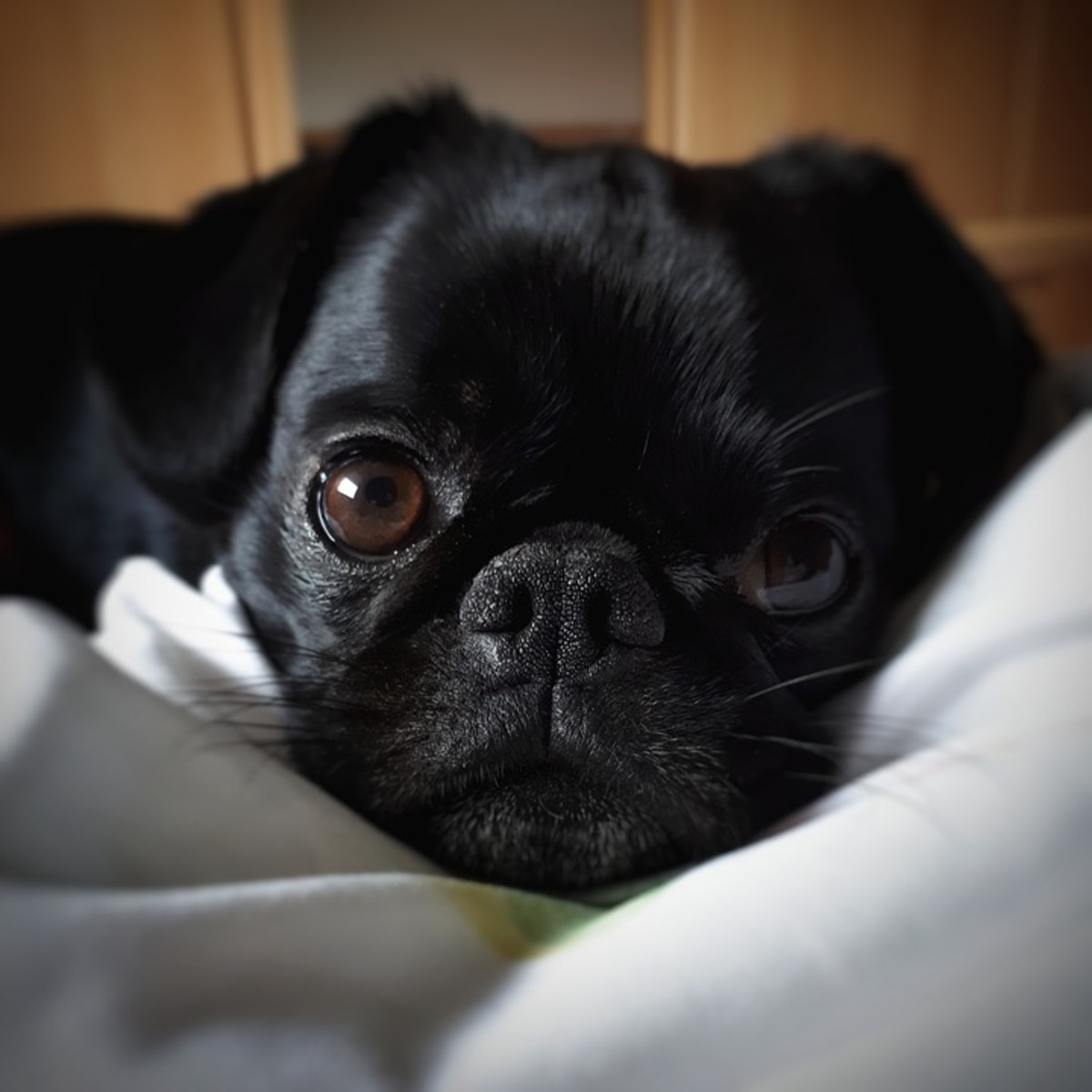 With a face like that, it's no wonder pugs became so loved throughout the world!