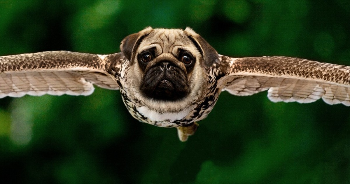 According to Tibetan legend, if you touch an eagle right after it hatches, it will be transformed into a pug dog.