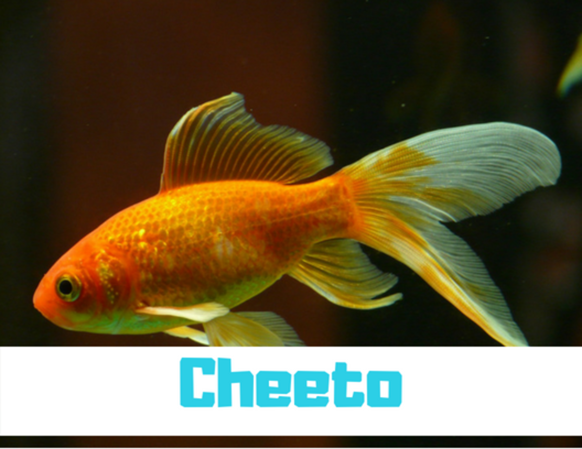 """Pick a name that's related to your fish's coloration, like """"Cheeto"""" for an orange fish."""