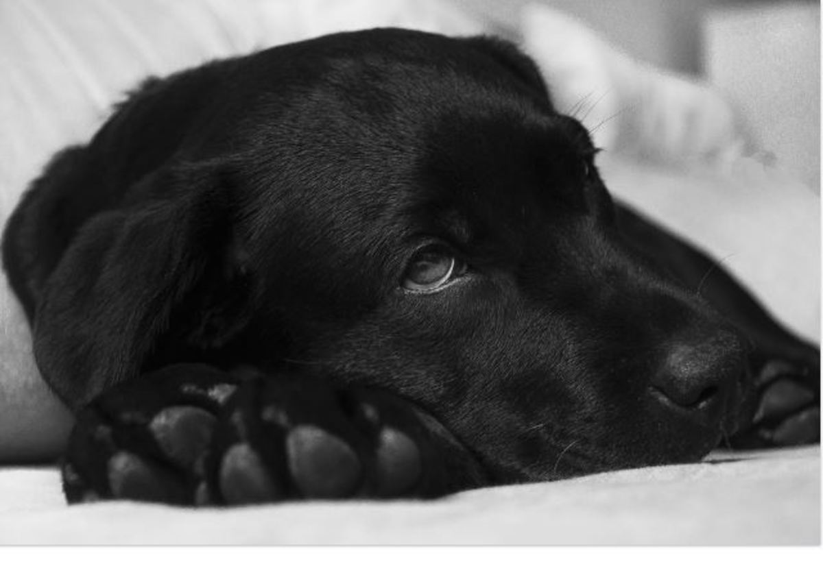 If there are not enough red blood cells to carry sufficient oxygen to a dog's heart, brain, muscles, and tissues, they may appear tired or lethargic.