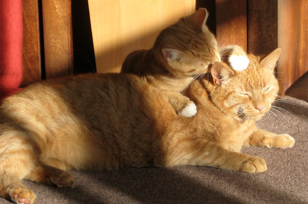 Cats groom to show affection.