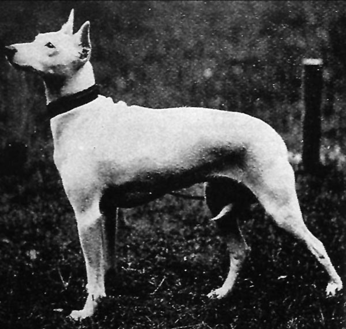 A beautiful example of the Bull Terrier's extinct forerunner, already showing the white coat, muscled body and erect ears.