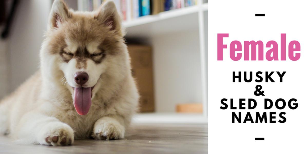 150 Cool Husky Names And Sled Dog Name Ideas Pethelpful