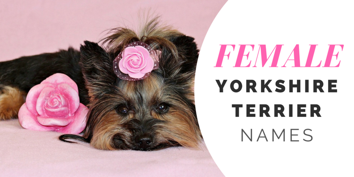 180 Cute Yorkie Names For Your Tiny Terrier Pethelpful