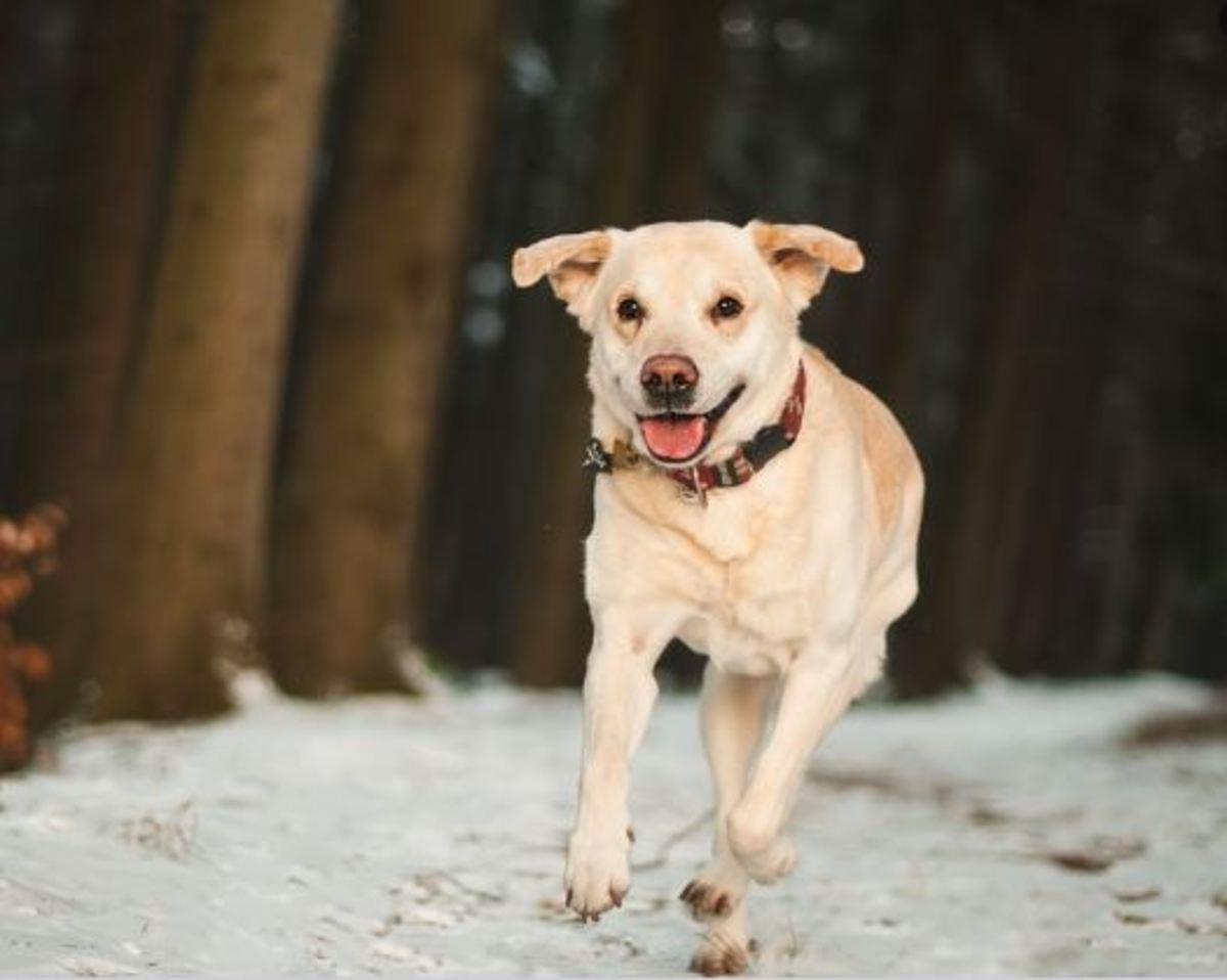 This dog is likely panting from exercising considering the cold weather. Notice the happy expression.