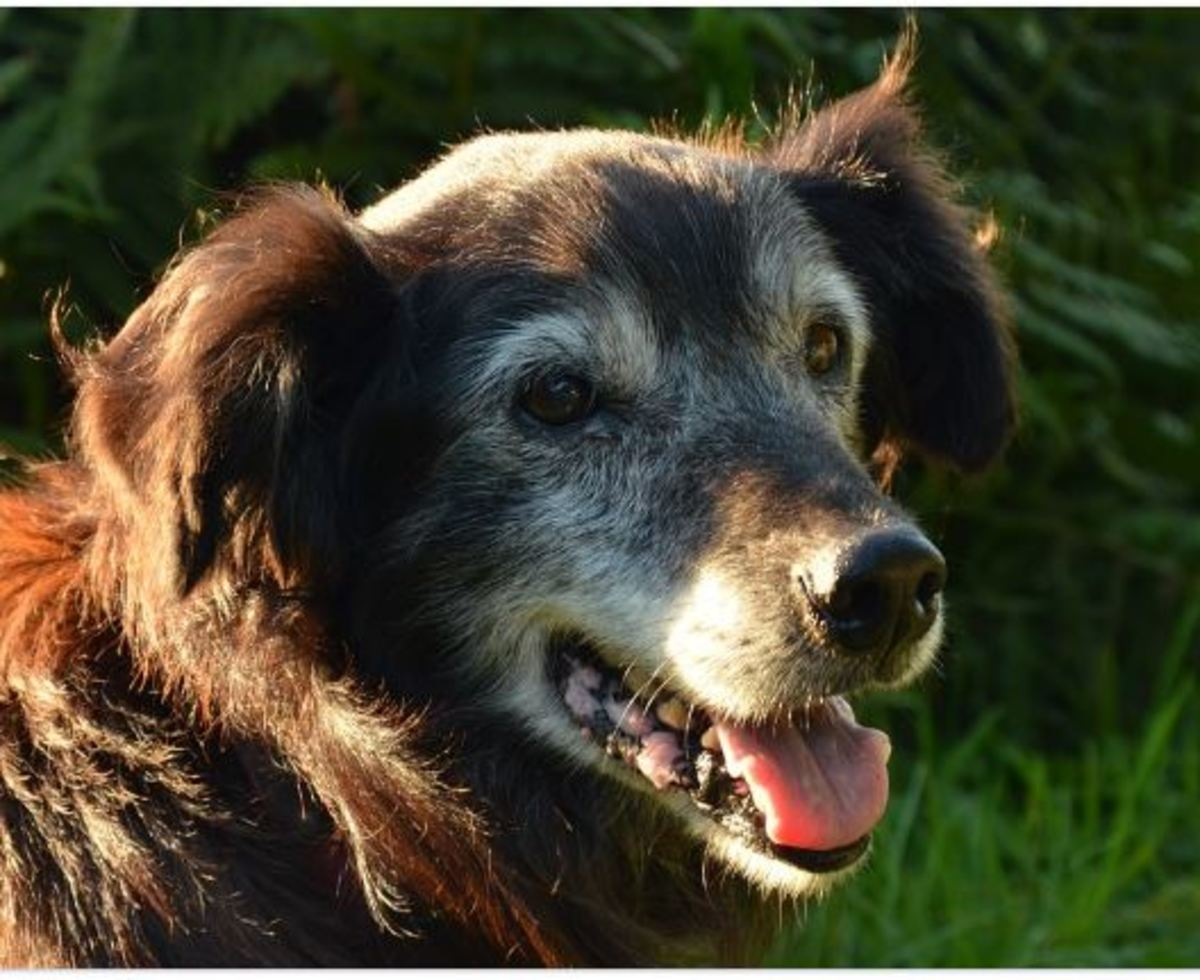 Panting in old dogs should be monitored as it can be a sign of pain.