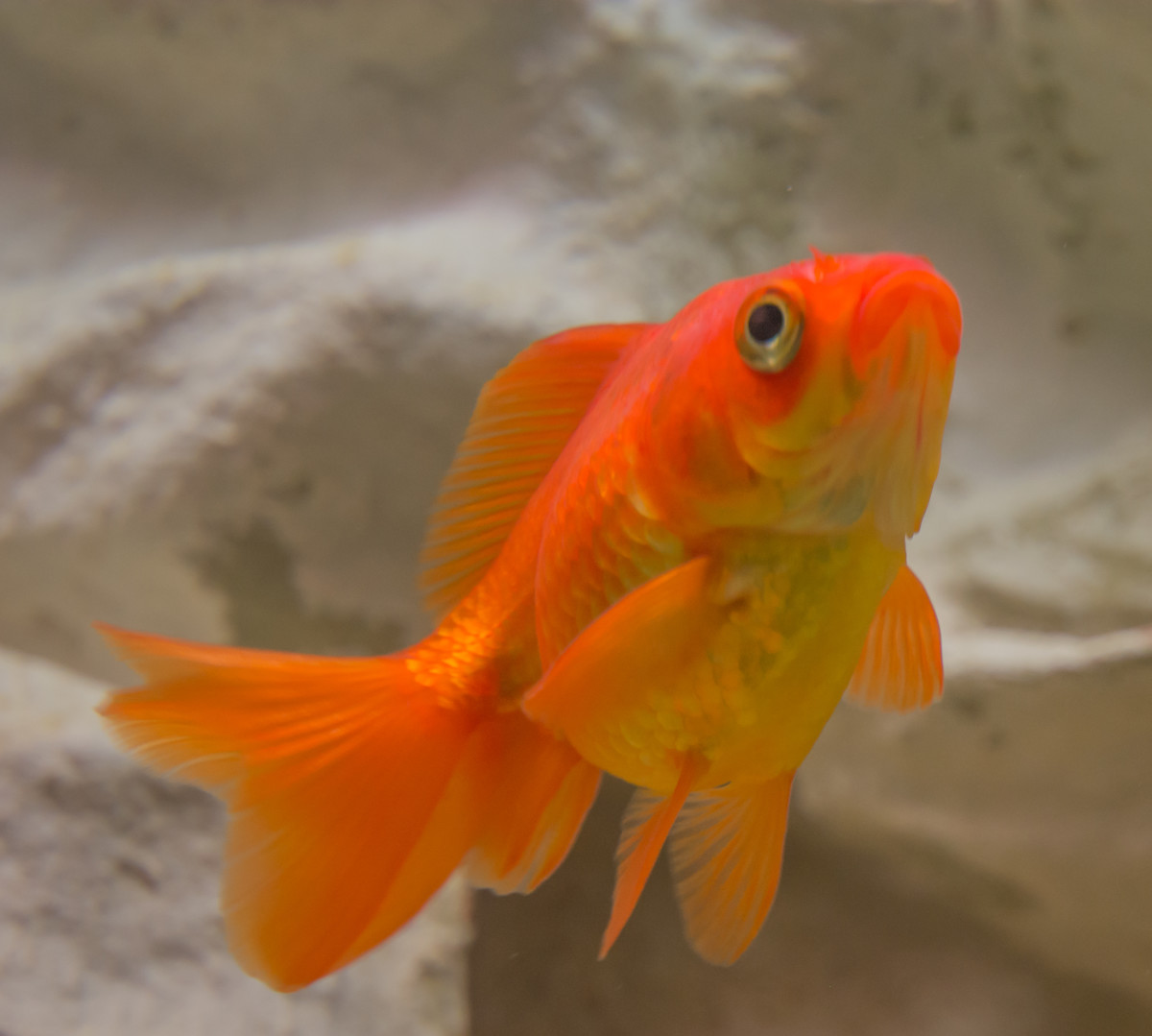 Goldfish can be little rascals in the aquarium. That is why they are sometimes found in a bare bottom tank.
