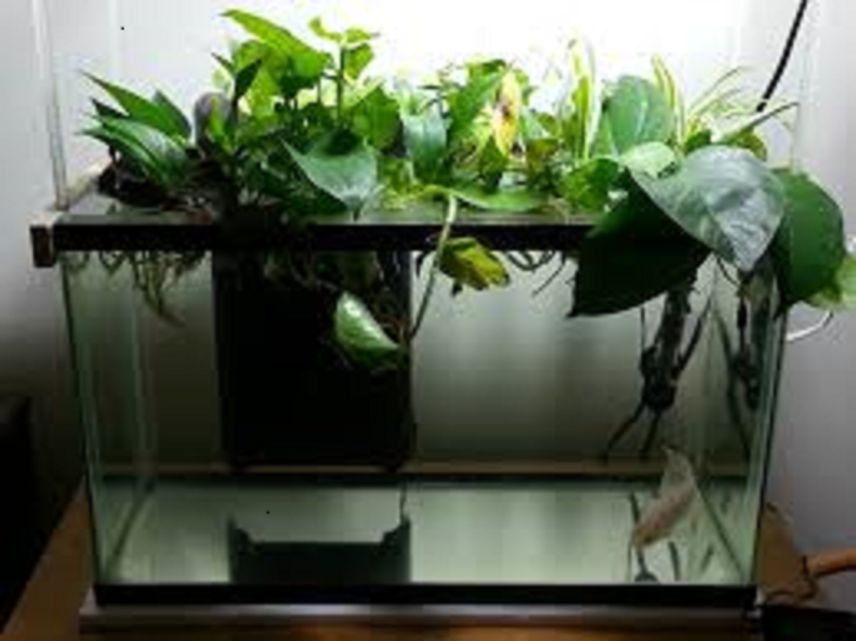 The Pothos Plant is an excellent plant to help maintain water quality. It is a common choice for aquariums free of substrate.