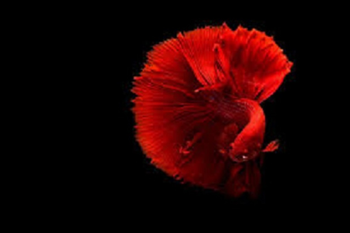 The Betta fish is a popular choice for fish hobbyist. The Betta, Minnow, and Goldfish, are species of fish, that do well in bare-bottom tanks.